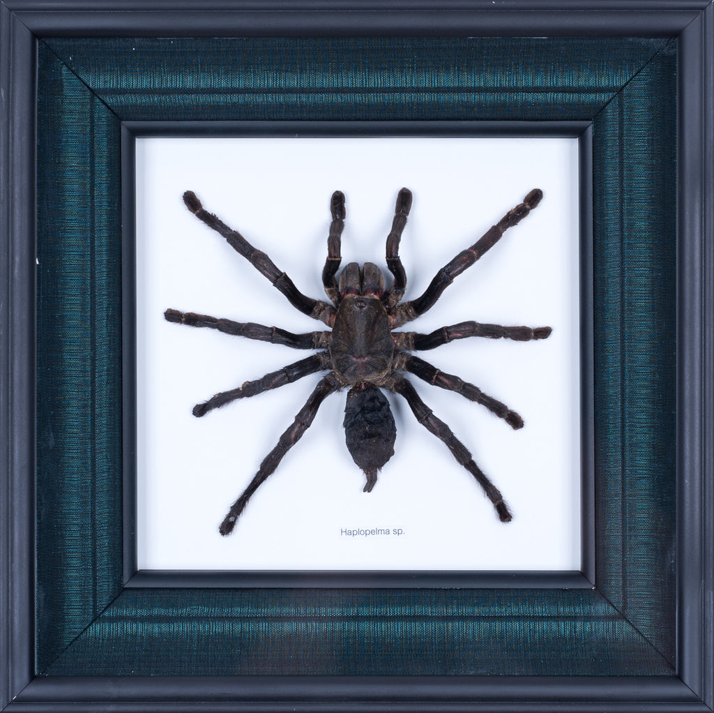 Exotic Framed Bird Eating Tarantula - Mulberry Silk Lining  #201