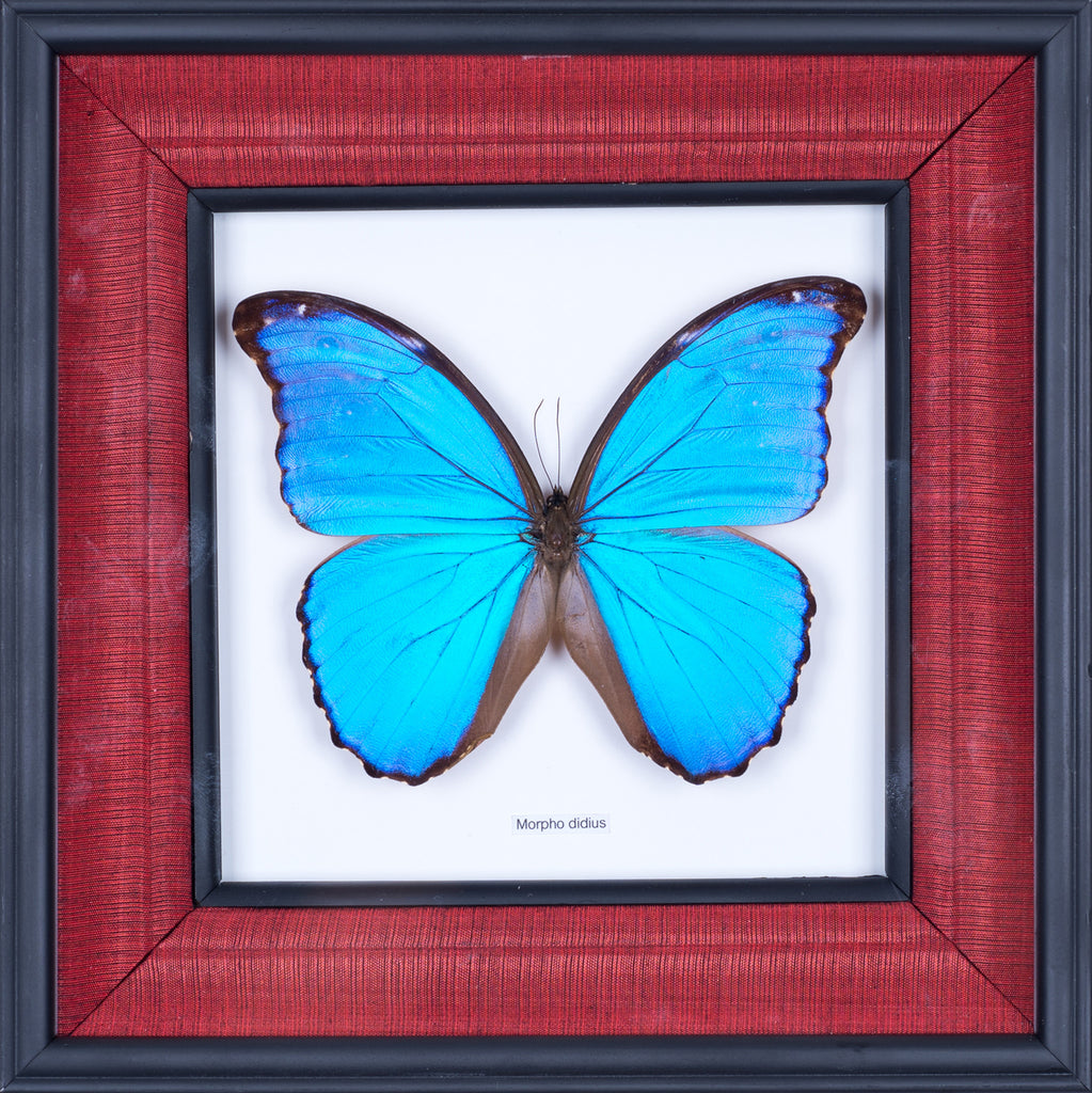 HAND CRAFTED FRAMED BUTTERFLY DISPLAY | THE GIANT BLUE MORPHO