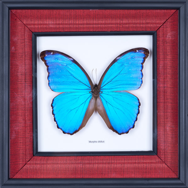 Exotic Framed Butterfly - Mulberry Silk Lining | THE GIANT BLUE MORPHO