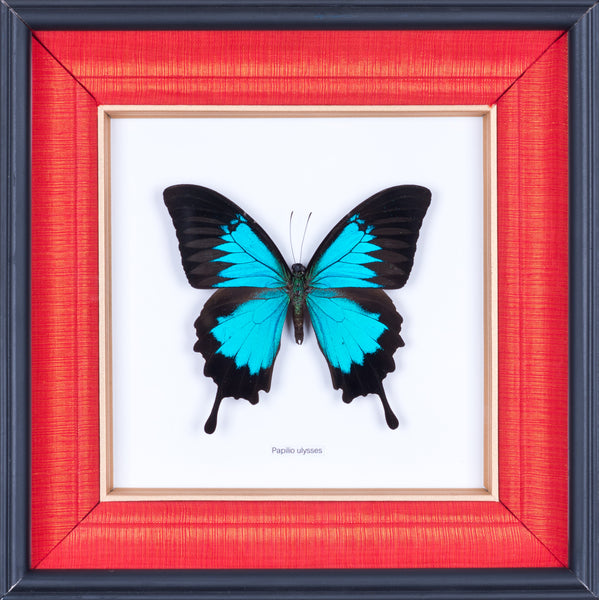 Exotic Framed Butterfly - Mulberry Silk Lining | THE BLUE SWALLOWTAIL