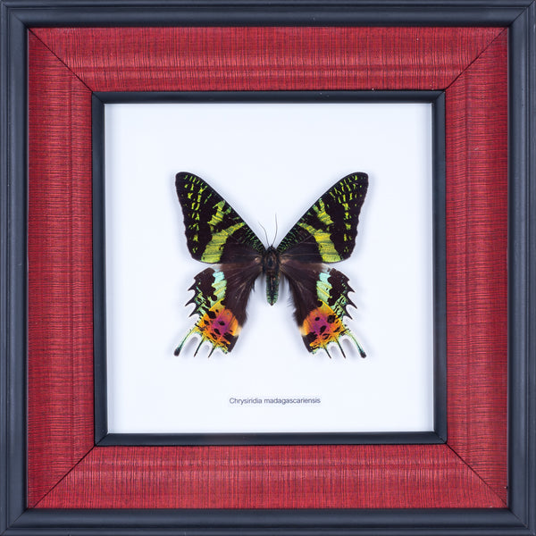 Exotic Framed Butterfly - Mulberry Silk Lining | THE SUNSET MOTH