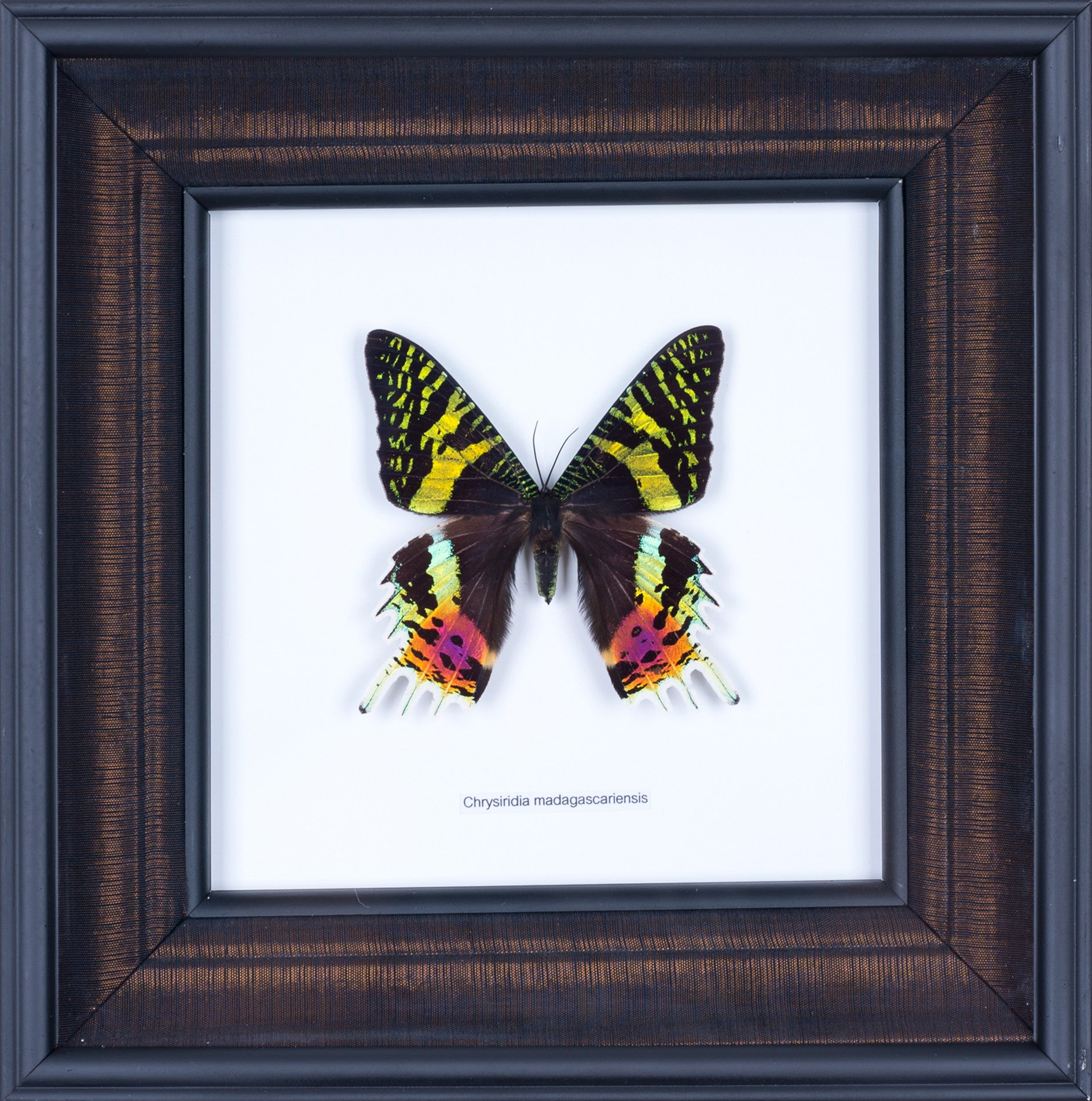 Exotic Framed Butterfly - Mulberry Silk Lining | THE SUNSET MOTH ...