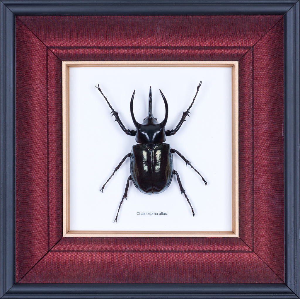 HAND CRAFTED FRAMED ATLAS BEETLE DISPLAY
