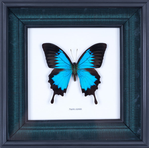 HAND CRAFTED FRAMED BUTTERFLY DISPLAY | THE BLUE SWALLOWTAIL