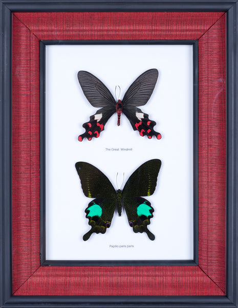 Exotic Framed Butterfly - Mulberry Silk Lining  #401