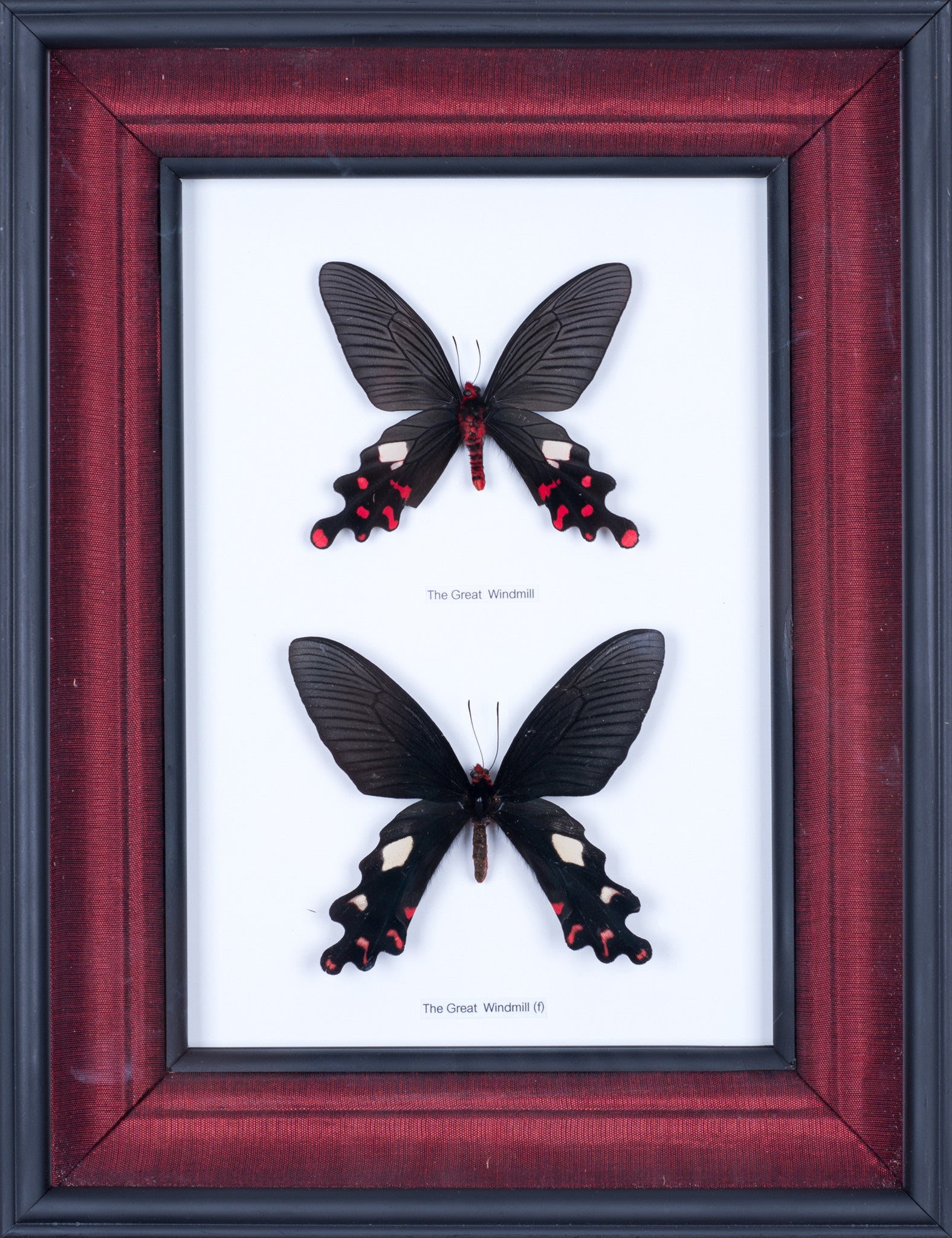 Exotic Framed Butterfly - Mulberry Silk Lining #403 - Bugs Direct Ltd