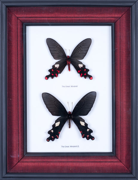 Exotic Framed Butterfly - Mulberry Silk Lining  #403