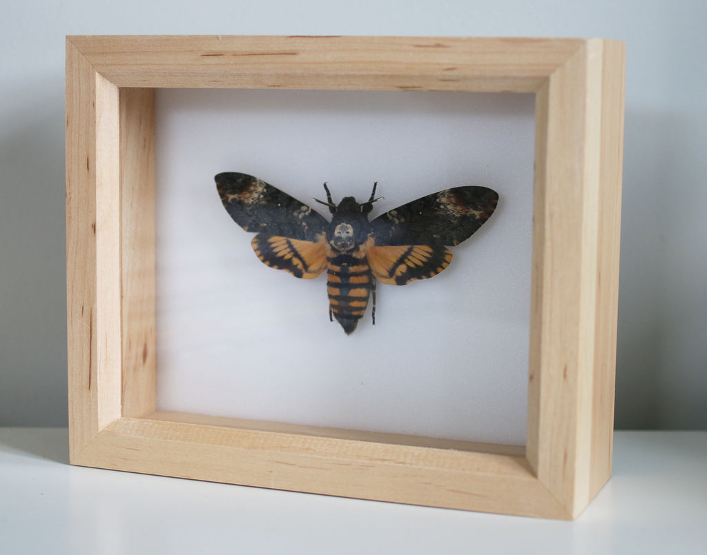 The Death's-head hawkmoth - Acherontia atropos - 18 x 15 cm