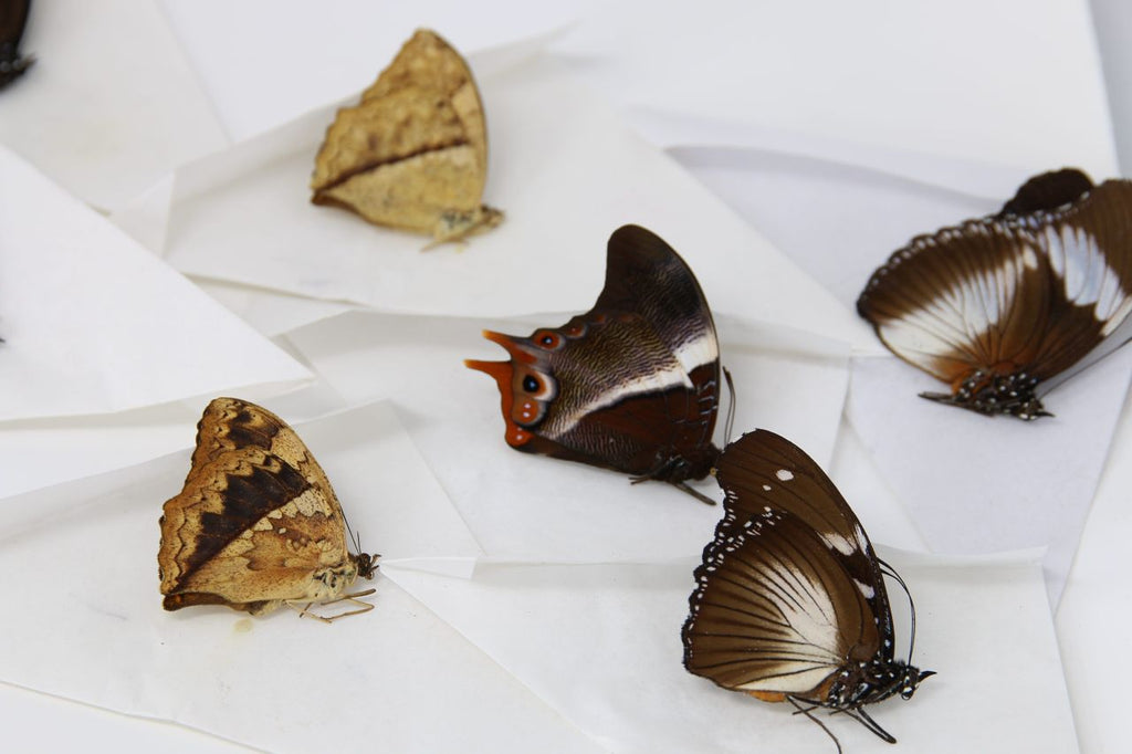 A large collection of 101 dry-preserved unmounted tropical butterflies (#2)