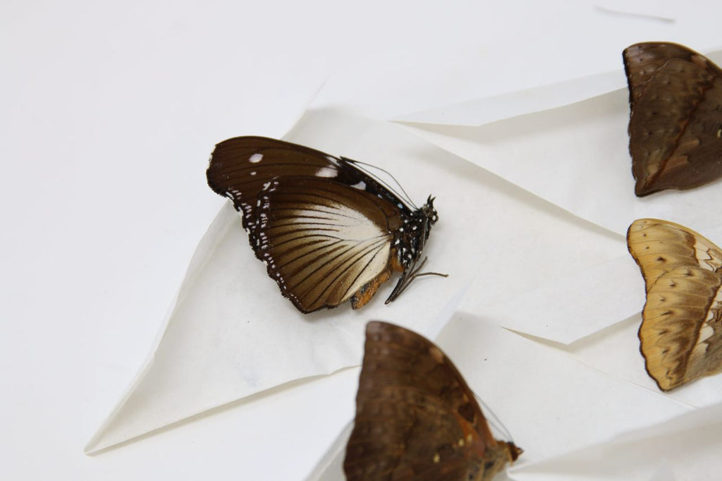 A large collection of 100 dry-preserved unmounted tropical butterflies (#4)
