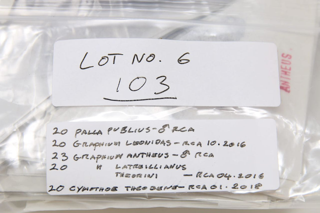 A large collection of 103 dry-preserved unmounted tropical butterflies (#6)