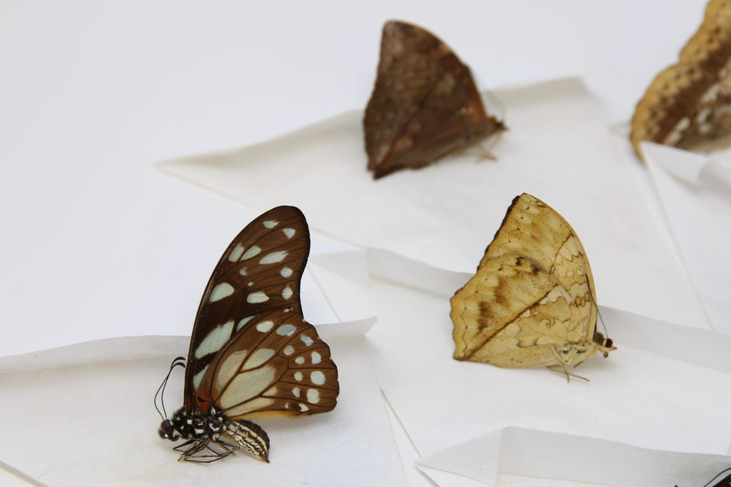 A large collection of 101 dry-preserved unmounted tropical butterflies (#7)