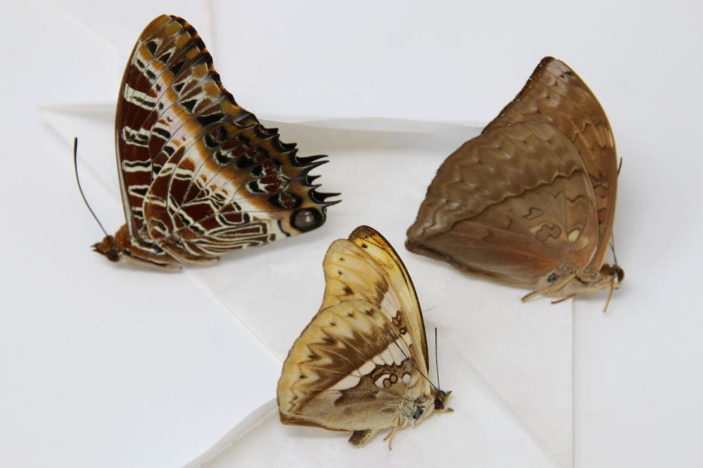 A large collection of 101 dry-preserved unmounted tropical butterflies (#11)