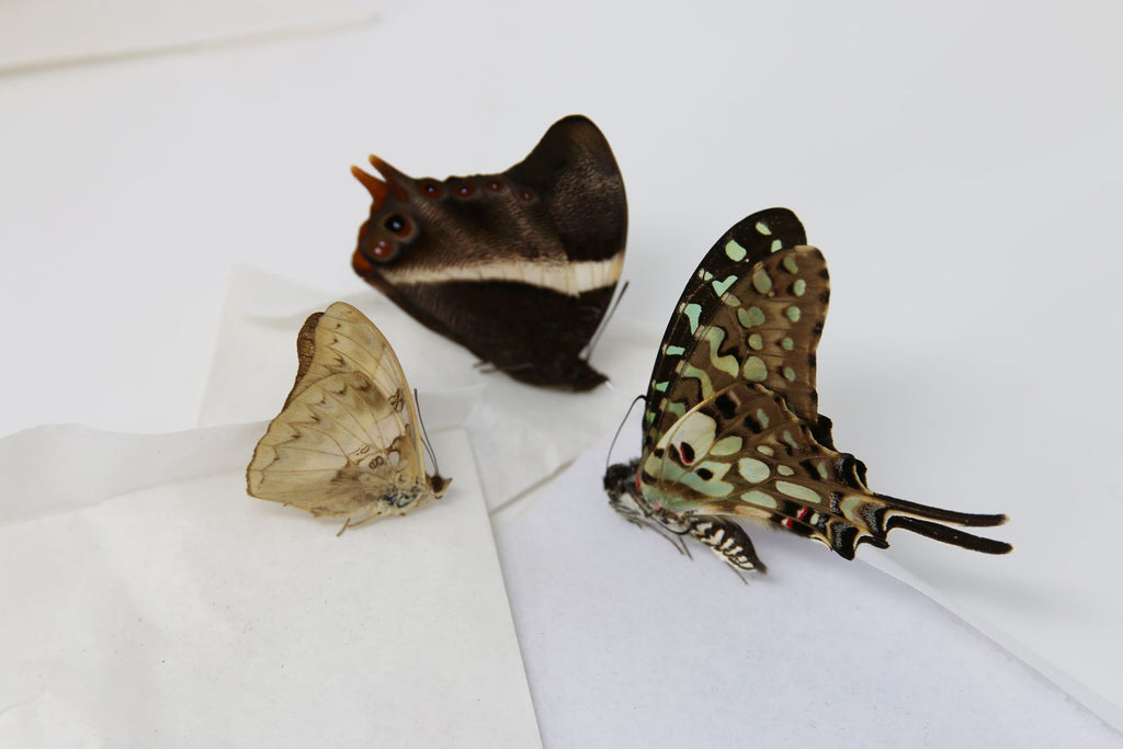 A large collection of 199 dry-preserved unmounted tropical butterflies (#21)