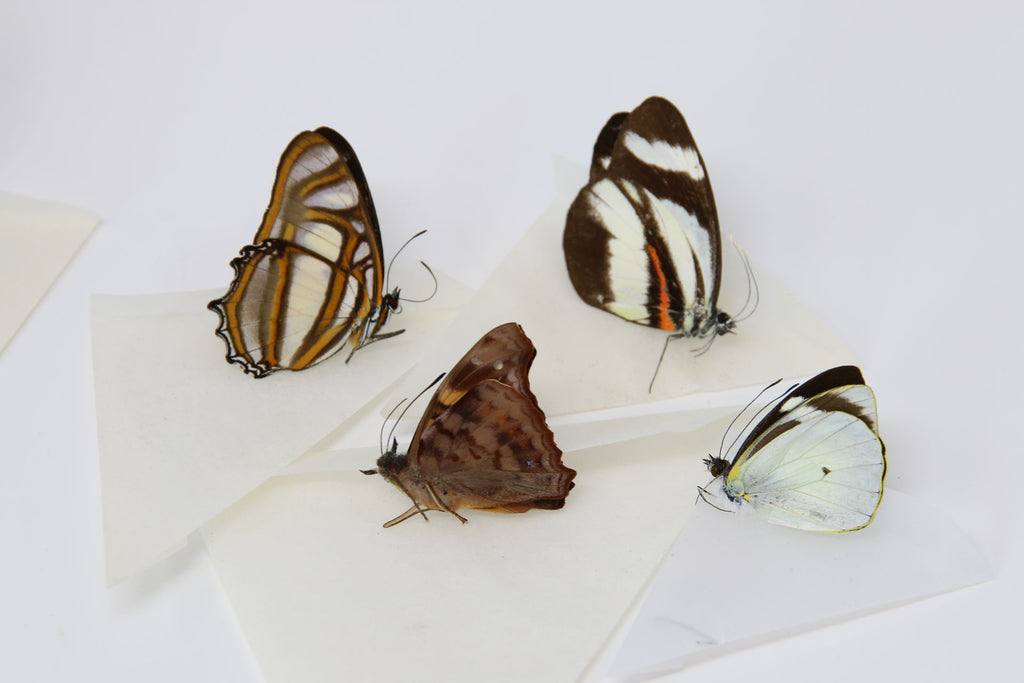 A large collection of 200 dry-preserved unmounted tropical butterflies (#22)