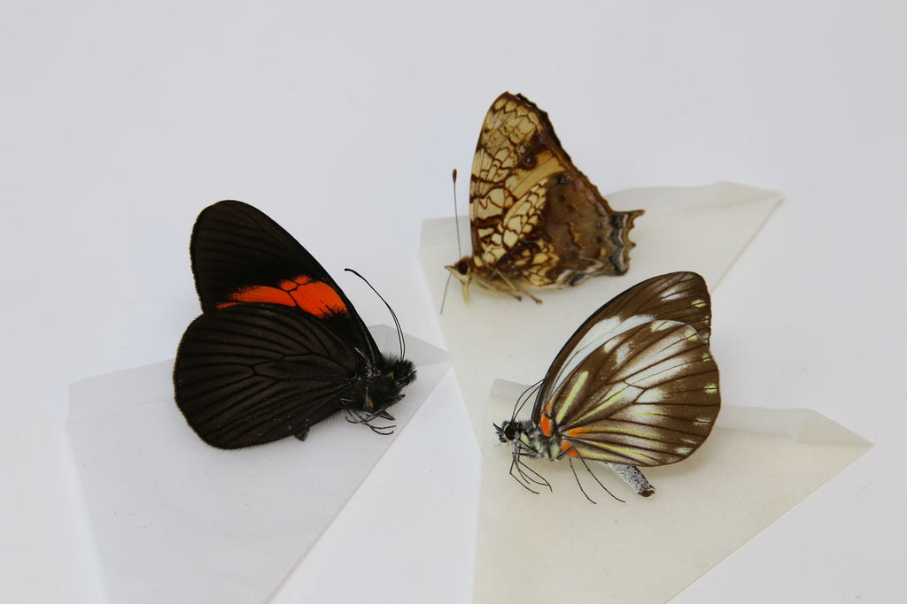 A large collection of 100 dry-preserved unmounted tropical butterflies (#24)