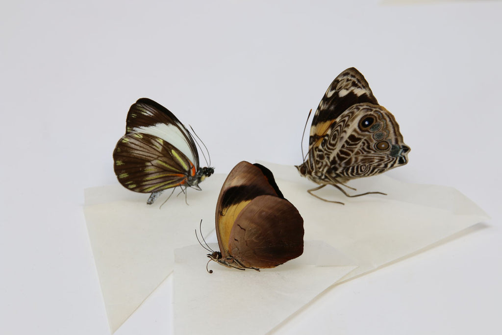 A large collection of 100 dry-preserved unmounted tropical butterflies (#26)