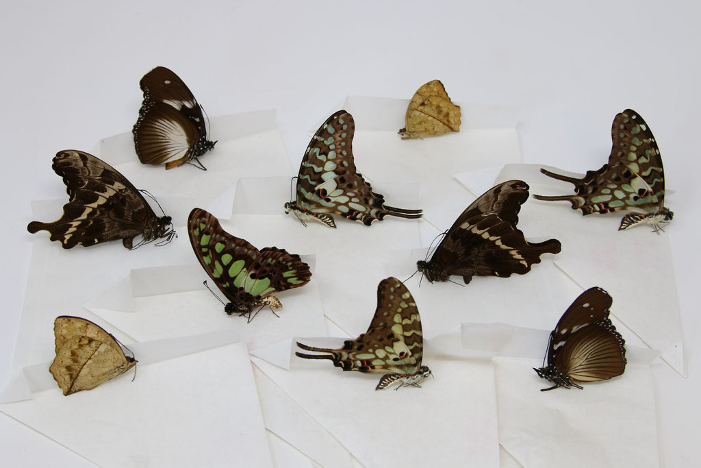 A large collection of 99 dry-preserved unmounted tropical butterflies (#5)