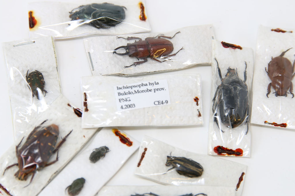 A large collection of 61 dry-preserved unmounted tropical beetles, coleoptera (#B3)