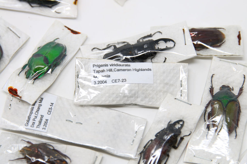 A large collection of 54 dry-preserved unmounted tropical beetles, coleoptera (#B5)