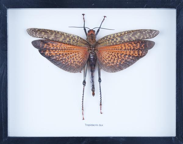 Exotic Grasshoppers | Real Entomology Collection, Natural Insects Mounted Under Glass in Wall Frame