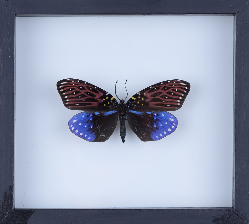 Real Butterfly Collection, Natural Butterflies Mounted Under Glass in Wall Hanging Frames. Real Butterfly Taxidermy, Entomology Home Decor, Scientific Interest.