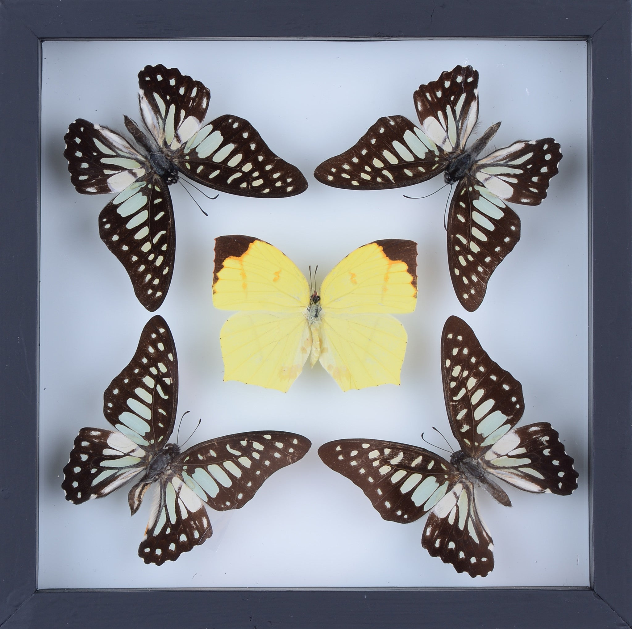 Real Butterfly Collection, Natural Butterflies Mounted Under Glass ...