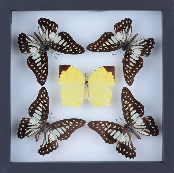 Real butterfly real butterfly collection natural butterflies mounted under glass in wall hanging frames real butterfly