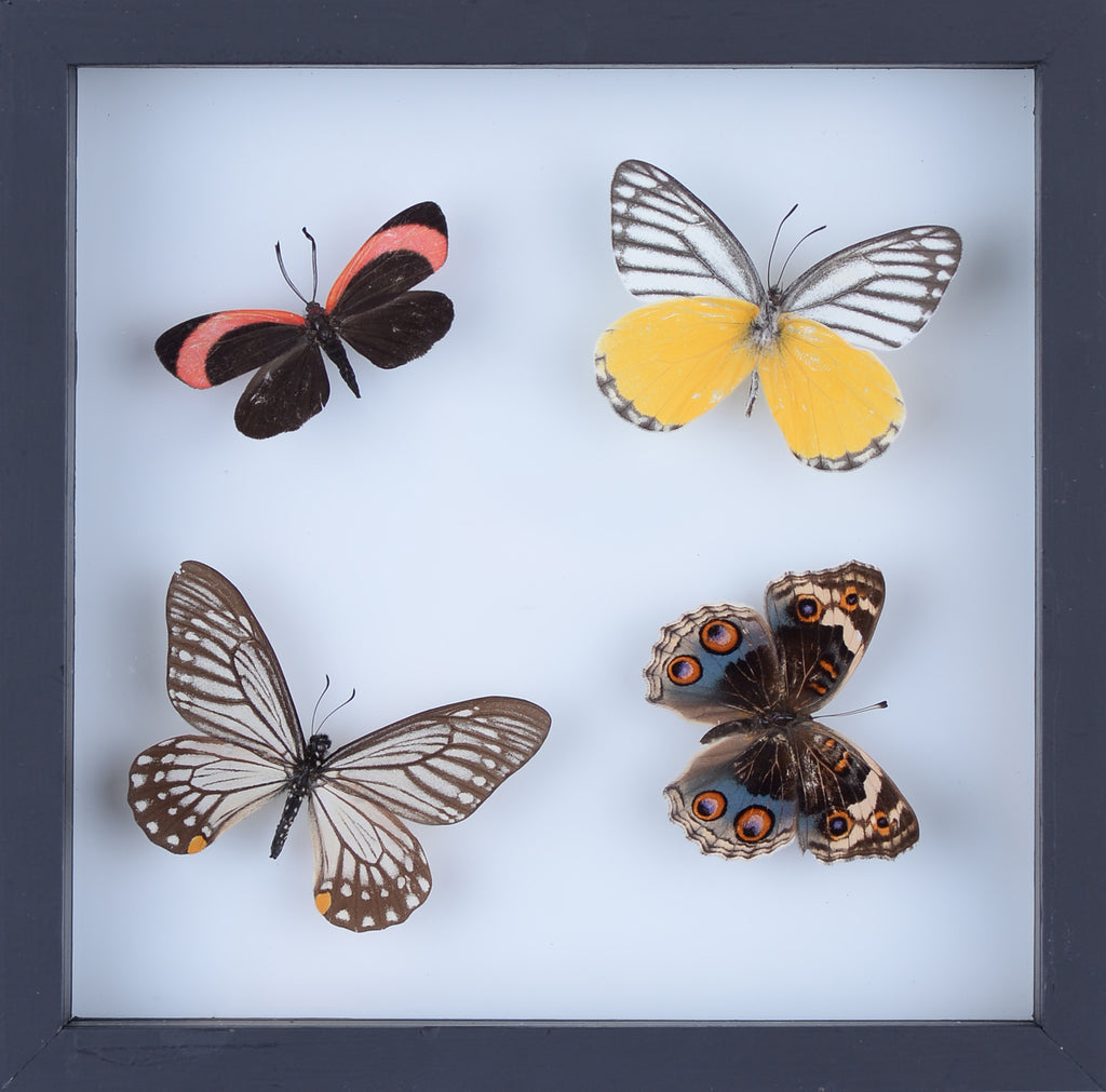 Real Butterfly Colleciton, Natural Butterflies Mounted Under Glass in Wall Hanging Frames. Real Butterfly Taxidermy, Entomology Home Decor, Scientific Interest.