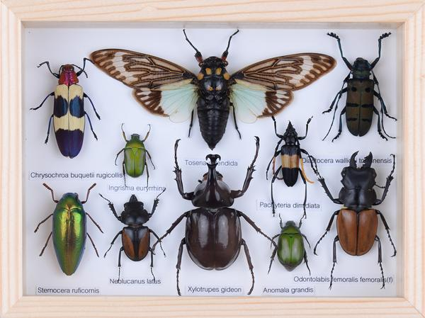 Mounted Tropical Insects Entomology Collection Framed