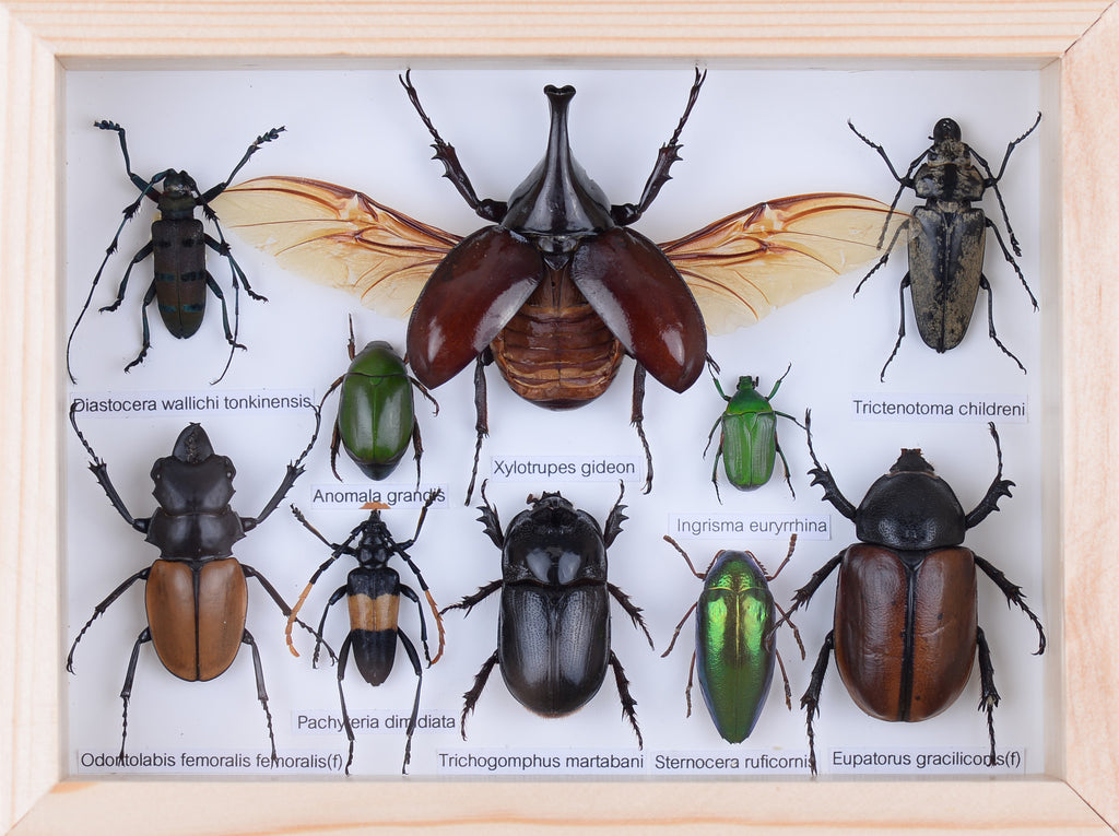 Real Entomology Insect Beetle Collection, Natural Insects Mounted Under Glass in Wall Hanging Frames. Real Insect Taxidermy, Entomology Home Decor, Scientific Interest.