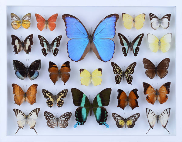 REAL BUTTERFLY COLLECTION - ALL NATURAL BUTTERFLIES MOUNTED UNDER GLASS IN A WALL HANGING FRAME - TAXIDERMY BUTTERFLY ART #805