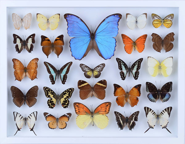 REAL BUTTERFLY COLLECTION - ALL NATURAL BUTTERFLIES MOUNTED UNDER GLASS IN A WALL HANGING FRAME - TAXIDERMY BUTTERFLY ART #803