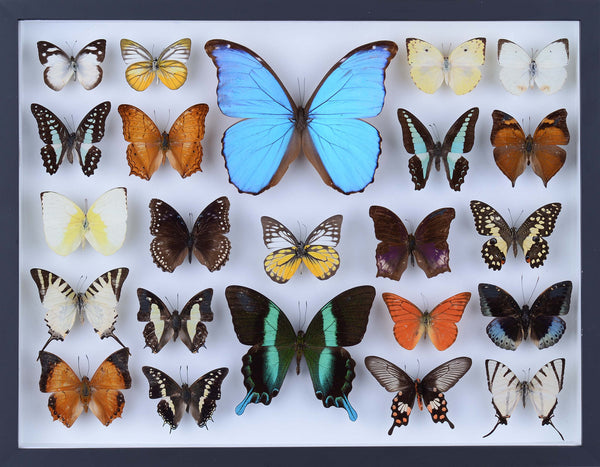 REAL BUTTERFLY COLLECTION - ALL NATURAL BUTTERFLIES MOUNTED UNDER GLASS IN A WALL HANGING FRAME - TAXIDERMY BUTTERFLY ART #804