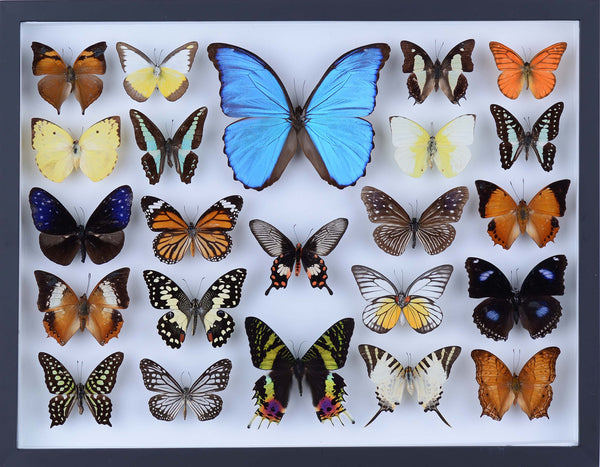 REAL BUTTERFLY COLLECTION - ALL NATURAL BUTTERFLIES MOUNTED UNDER GLASS IN A WALL HANGING FRAME - TAXIDERMY BUTTERFLY ART #802