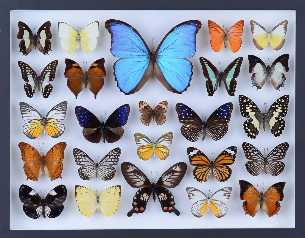 REAL BUTTERFLY COLLECTION - ALL NATURAL BUTTERFLIES MOUNTED UNDER GLASS IN A WALL HANGING FRAME - TAXIDERMY BUTTERFLY ART #801