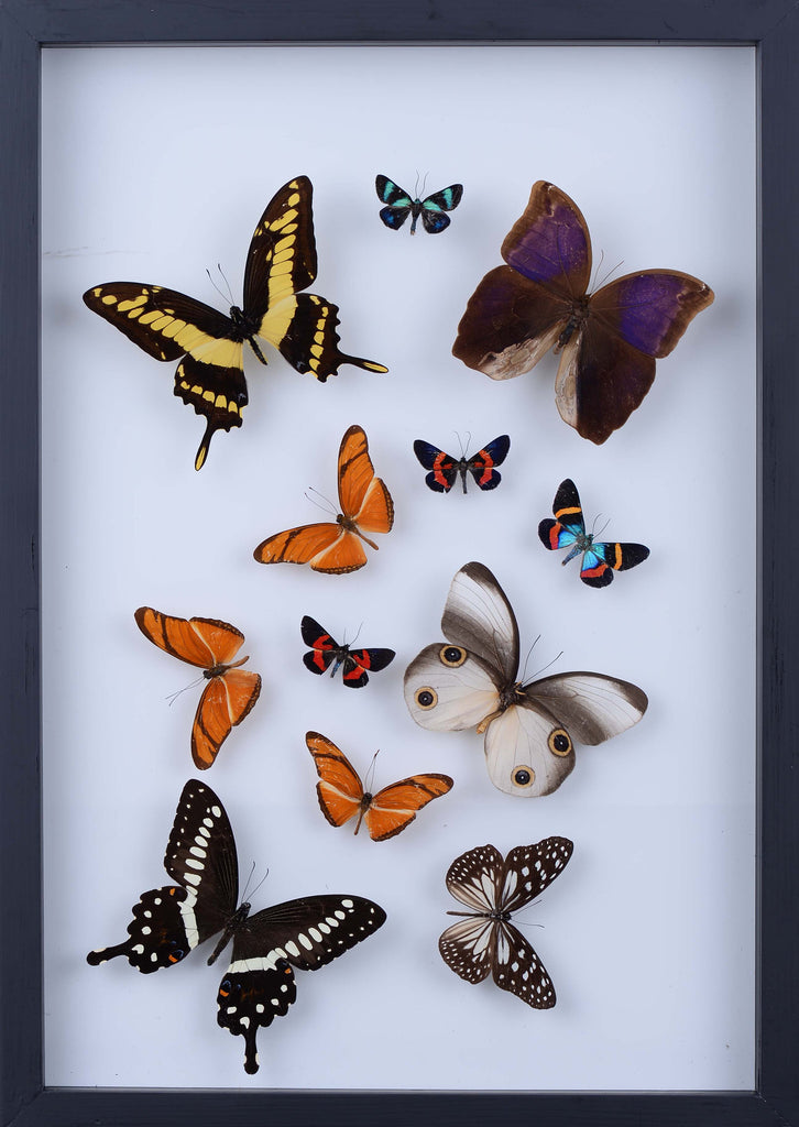 REAL BUTTERFLY COLLECTION - ALL NATURAL BUTTERFLIES MOUNTED UNDER GLASS IN A WALL HANGING FRAME - TAXIDERMY BUTTERFLY ART #902