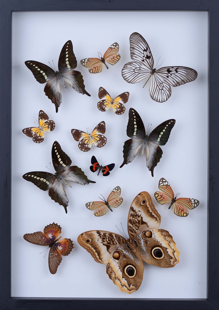 REAL BUTTERFLY COLLECTION - ALL NATURAL BUTTERFLIES MOUNTED UNDER GLASS IN A WALL HANGING FRAME - TAXIDERMY BUTTERFLY ART #903