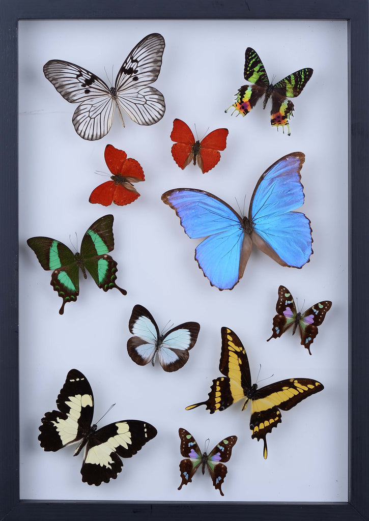 REAL BUTTERFLY COLLECTION - ALL NATURAL BUTTERFLIES MOUNTED UNDER GLASS IN A WALL HANGING FRAME - TAXIDERMY BUTTERFLY ART #901