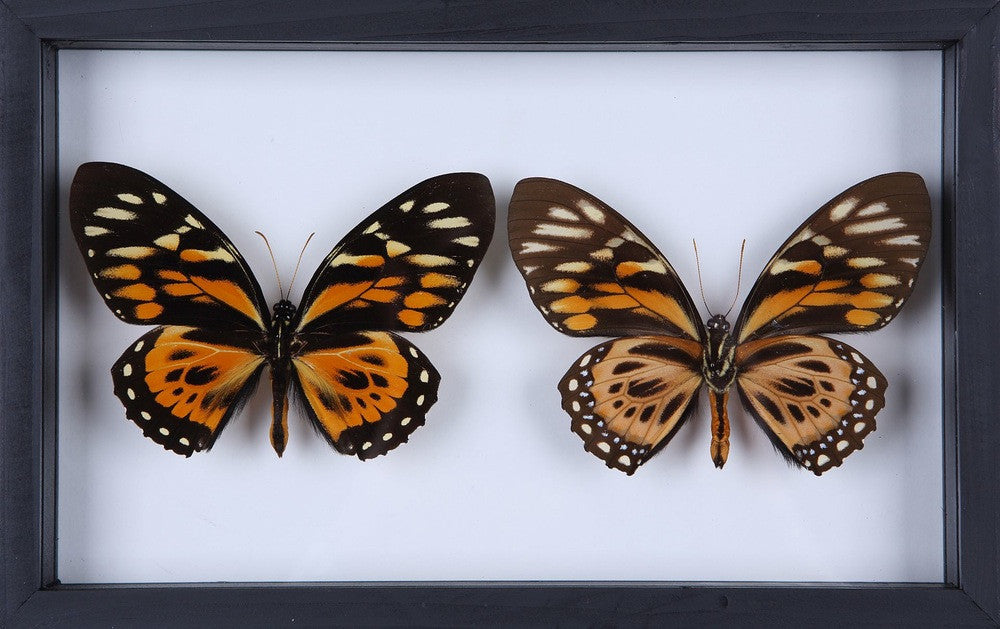 PERUVIAN BUTTERFLY TAXIDERMY COLLECTION - FRAME NO.5