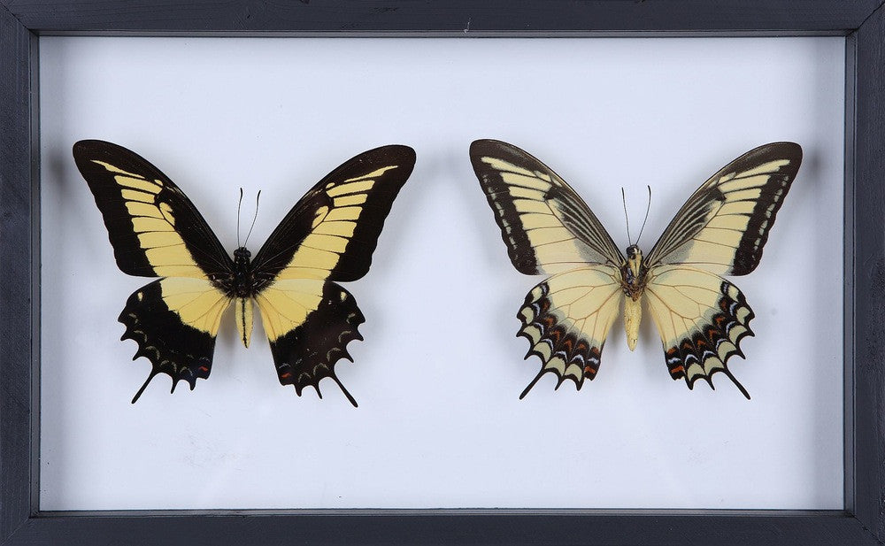 PERUVIAN BUTTERFLY TAXIDERMY COLLECTION - FRAME NO.7