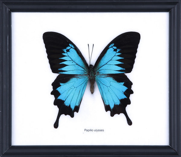 THE BLUE SWALLOWTAIL BUTTERFLY (PAPILIO ULYSSES) COTTON MOUNTED