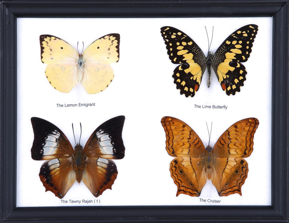 FOUR MOUNTED BUTTERFLIES (ASSORTED SPECIES) COTTON MOUNTED