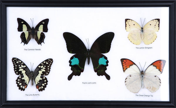 FIVE TAXIDERMY BUTTERFLIES, FRAMED ASSORTED BUTTERFLIES