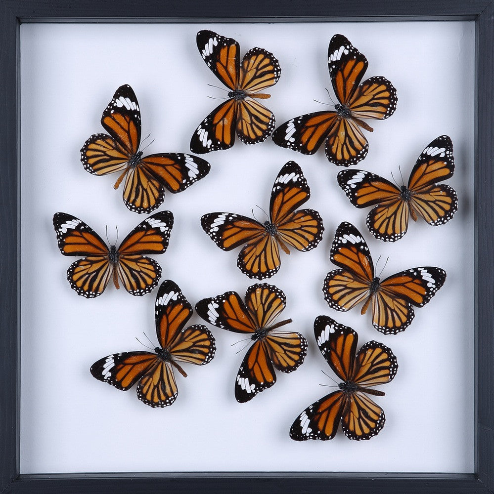 TAXIDERMY BUTTERFLY GLASS FRAME DISPLAY | MOUNTED BUTTERFLIES NO.A058