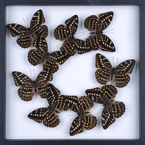 Entomology Framed Butterflies | Taxidermy Specimens | 3D Wall Frame 300x300x25mm