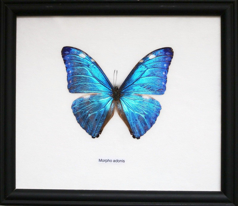 THE ELECTRIC BLUE MORPHO BUTTERFLY (MORPHO ADONIS) REAL BUTTERFLY FRAMED