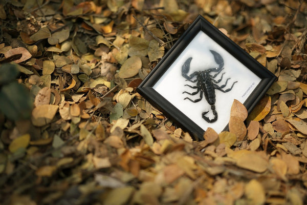 THE THAI JUNGLE SCORPION | MOUNTED SCORPION TAXIDERMY | 12CM X 12CM FRAME