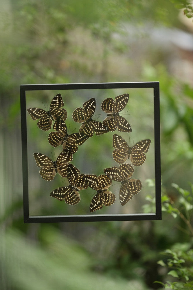 TAXIDERMY BUTTERFLY GLASS FRAME DISPLAY | MOUNTED BUTTERFLIES NO.A061