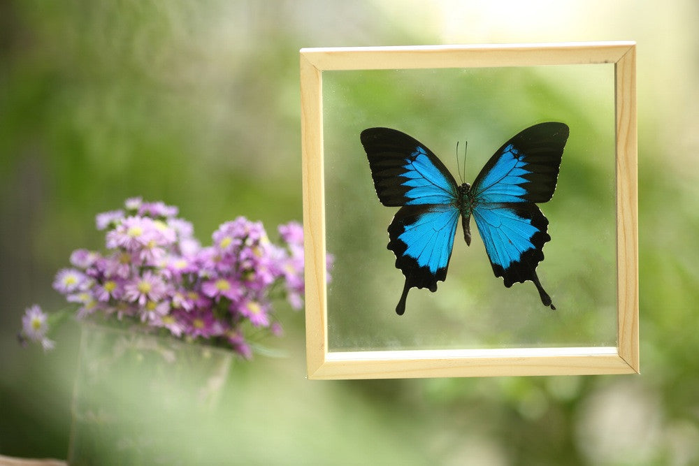 THE BLUE SWALLOWTAIL BUTTERFLY (PAPILIO ULYSSES) REAL BUTTERFLY TAXIDERMY | DOUBLE GLASS FRAME